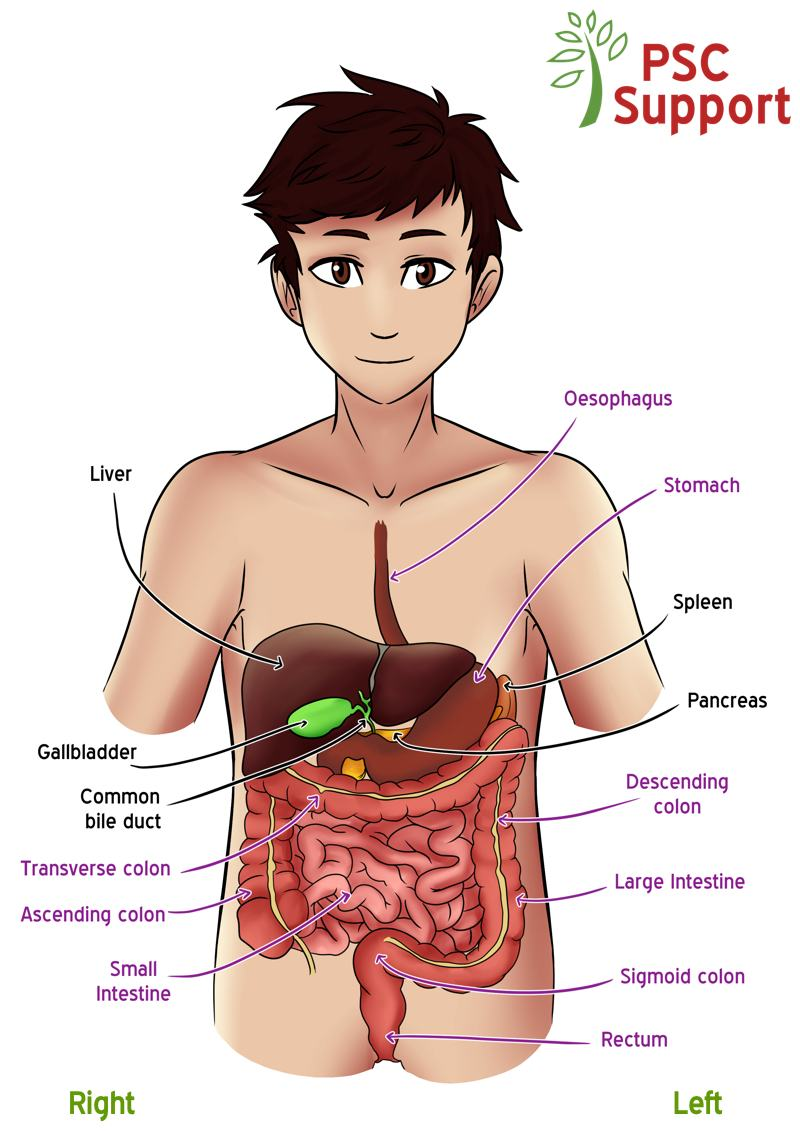 Location of liver and bile ducts
